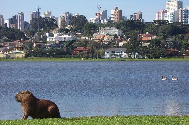 1024px A capivara   Parque Barigui   Curitiba PR